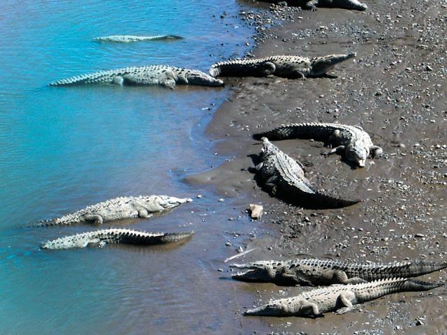 Crocs at Tarcoles River