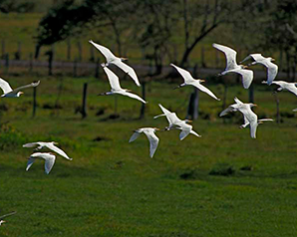 Cattle Egrets flying