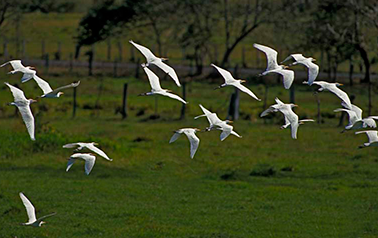 Cattle Egrets flying