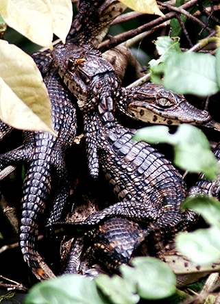 Pacific Coast Tours - Baby Crocodiles