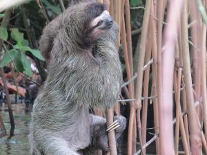 Three toad Sloth